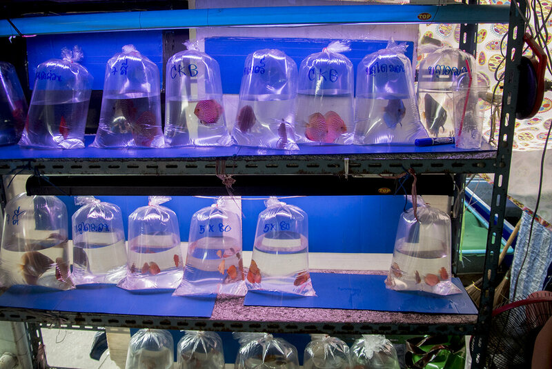 Discus fish, pre-bagged for a quick sale, occupy a seller's shelves.