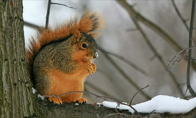 A devious squirrel plots his next attack.