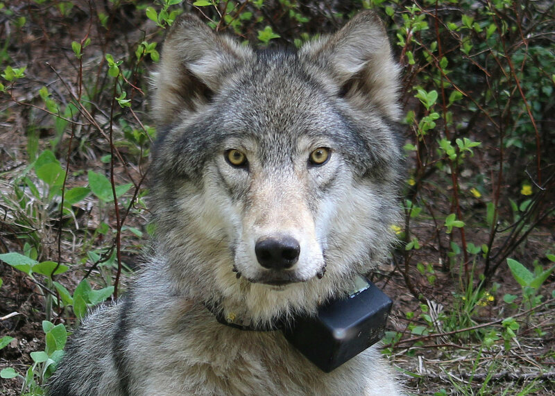 Before this wolf wore a radio collar, he made himself known via elicited howling survey.