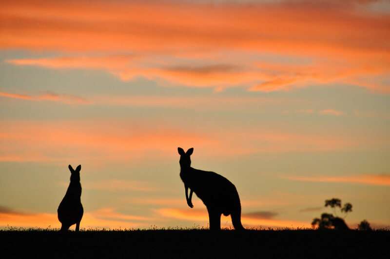 Could America be hiding wild kangaroos?