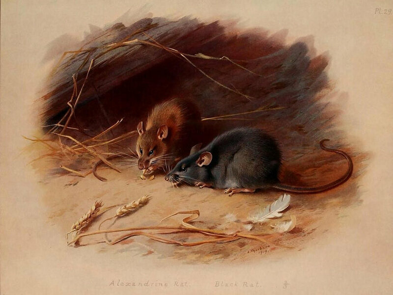 from c. 1920, an illustration of a Black Rat (right) next to an Alexandrine Rat.