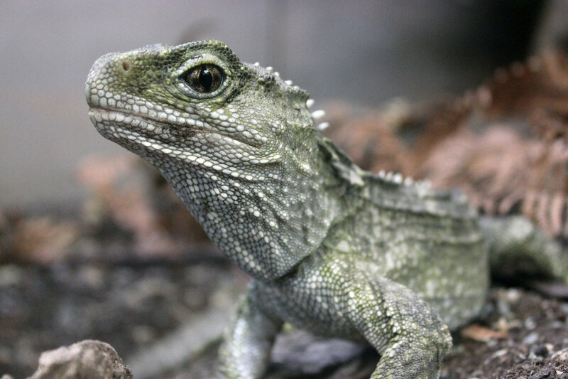 A tuatara at Willowbank Wildlife Reserve in Christchurch, New Zealand.