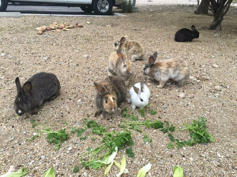 Feral Bunnies Are Taking Over Las Vegas Atlas Obscura
