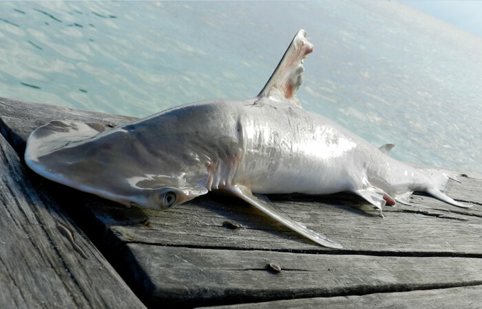 A bonnethead shark of the newly identified species.