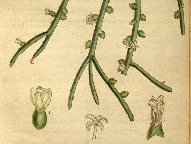 Detail from an 1831 illustration of Rhipsalis baccifera.
