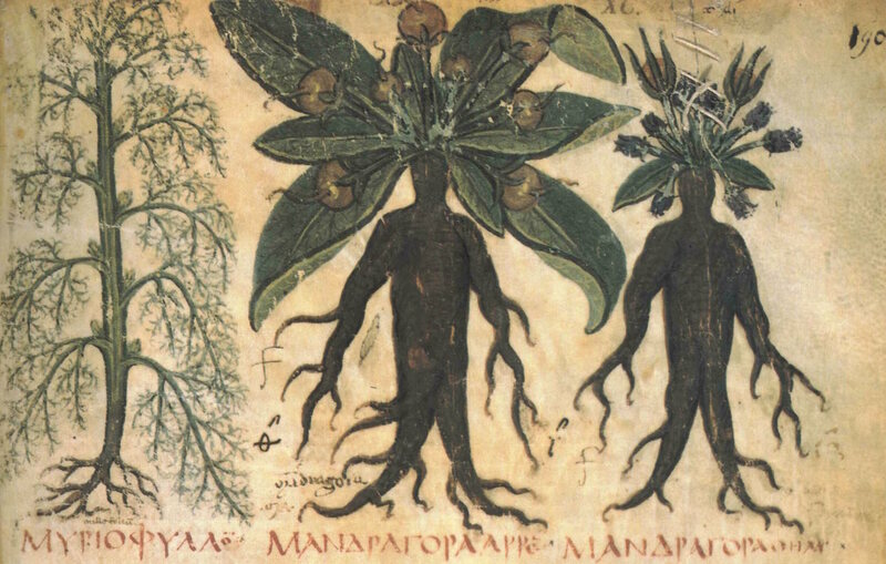Mandrakes from a 7th century manuscript.
