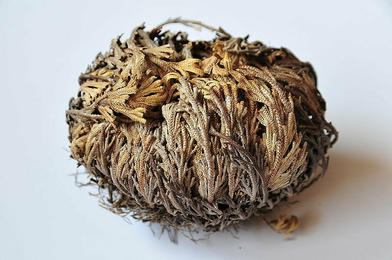 What the Rose of Jericho looks like, all dried up.