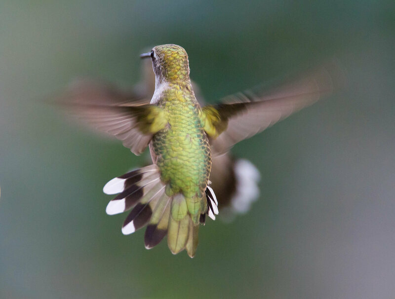 A hummingbird in mid-flight has a heart going at full speed.