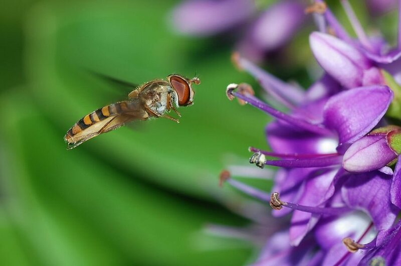 A hoverfly takes advantage of its heart.