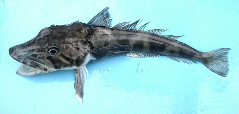An ocellated icefish, full of clear blood.