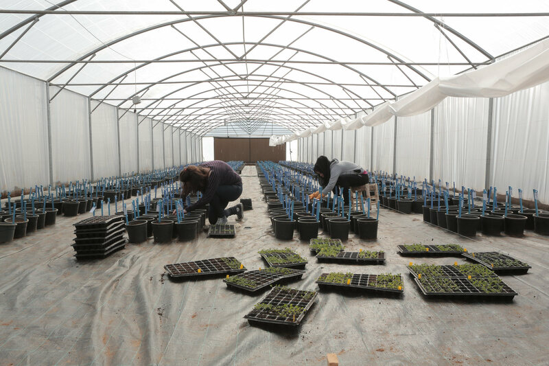 Researchers in ICARDA's Beirut headquarters, harvesting seeds to ship back to Svalbard.