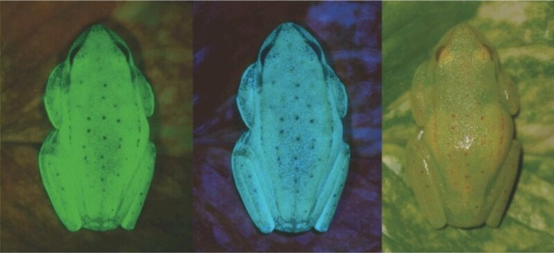 The frog under UV lighting and under normal lighting.