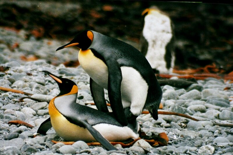 Two male king penguins, going at it.