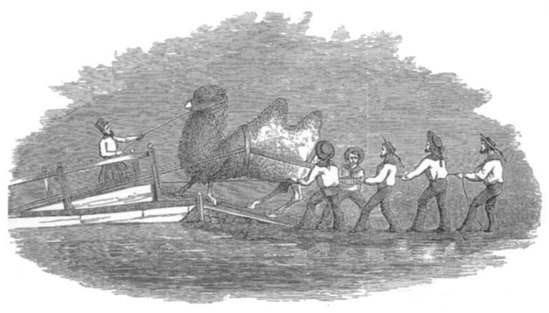 This illustration, of a camel being loaded onto a ship, was sent to the War Department in 1857 as part of a general mission report.