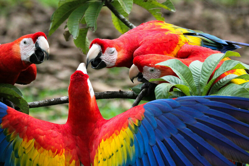 Scarlet macaws planning an escape?