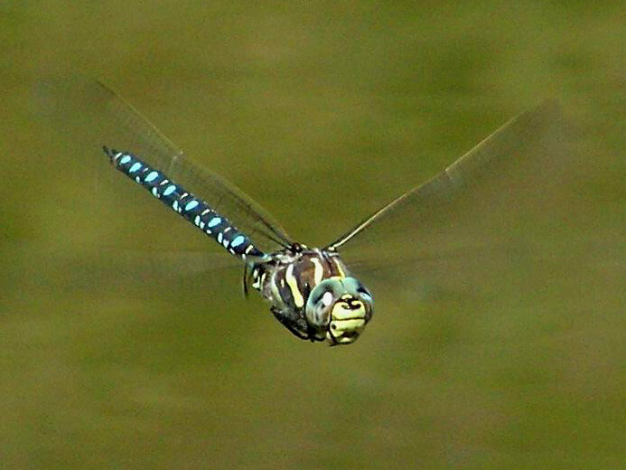 A male moorland hawker dragonfly and/or sexual predator.