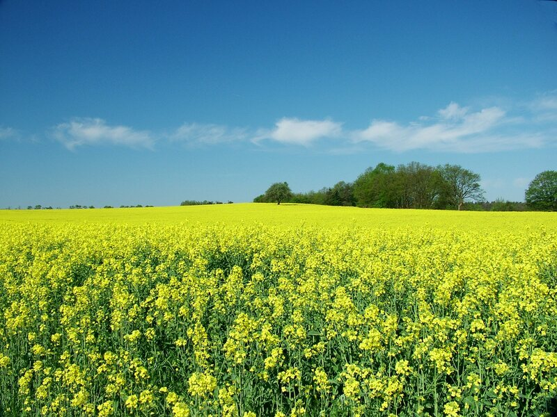 EU flags will be flying over a German rapeseed field, starting in April 2019.