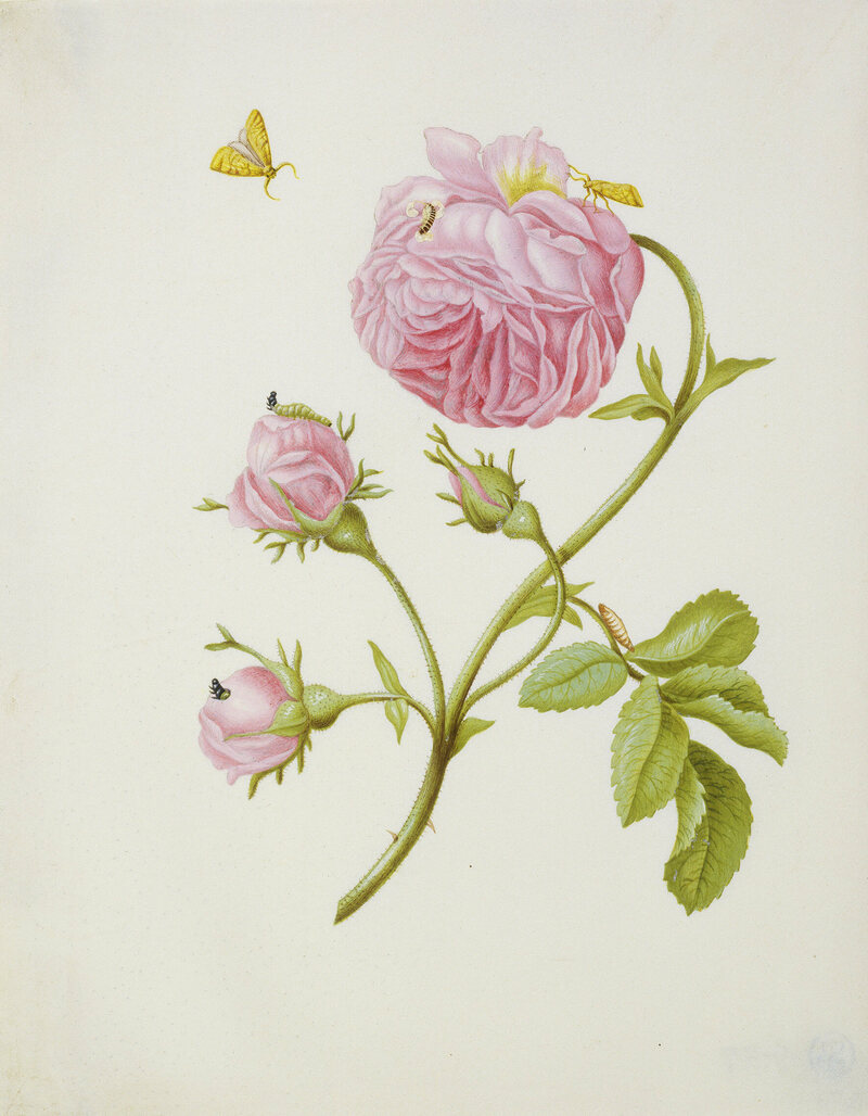 Shrub Rose with Gracillariidae, Larva, and Pupa, 1679.