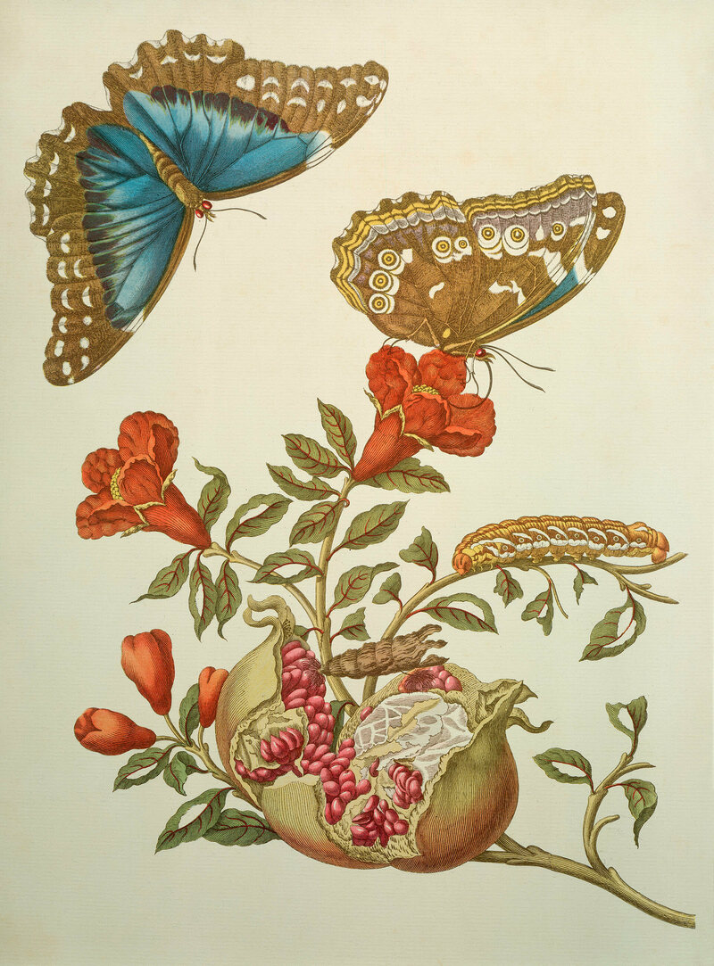 Pomegranate and Menelaus Blue Morpho Butterfly, 1705.