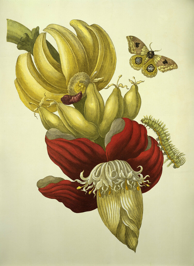 Banana Flower and Fruit, from </em>Metamorphosis insectorum Surinamensium</em>, 1705