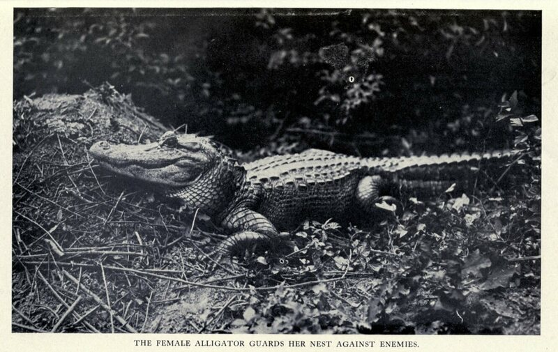 A photograph from Edward Avery McIlhenny's 1935 book about alligators, of a female guarding her nest.