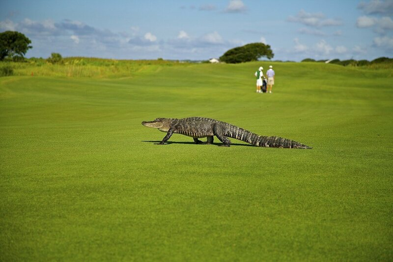 An alligator visits a golf course.