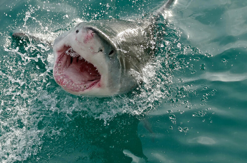 A great white shark on the western cape of South Africa.