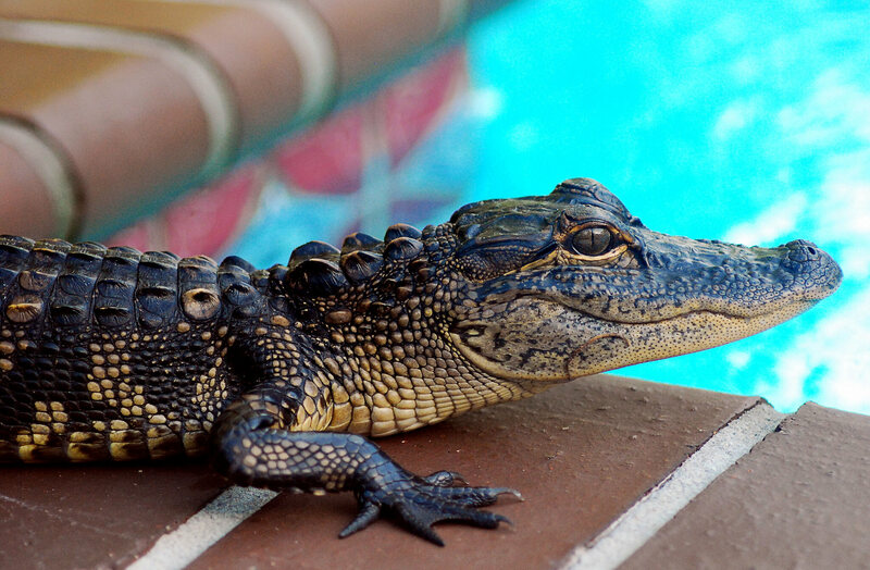 A small alligator visits a pool.