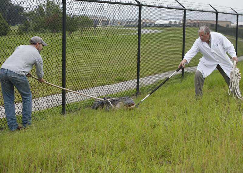 USDA biologists wrangle an alligator who snuck into a Georgia Air Force base. (This one was relocated.)