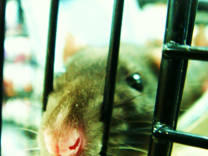 A rat in a cage in New Zealand.