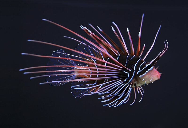 Clearfin lionfish.
