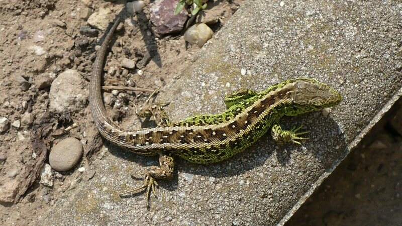 Lizards Hold Up Railway Construction In Germany Atlas