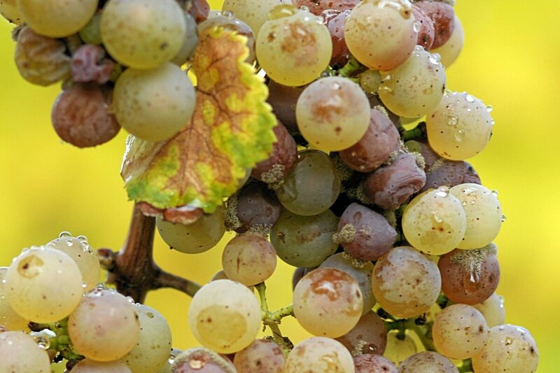 Noble rot causes grapes to lose water and shrivel up, but it's not all bad news.