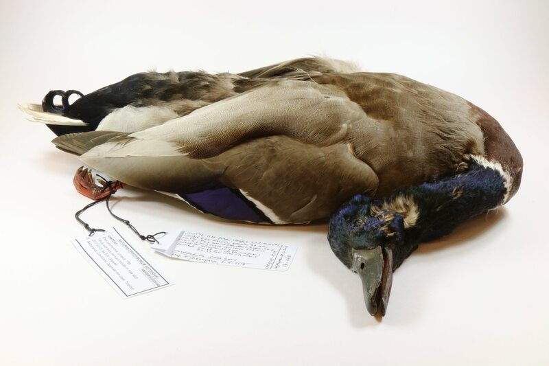 The Rotterdam Natural History Museum's new special-interest duck specimen.