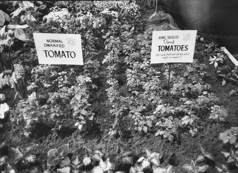 "A 1961 ""Atomic Garden"" showing tomatoes that have been atomically energized."