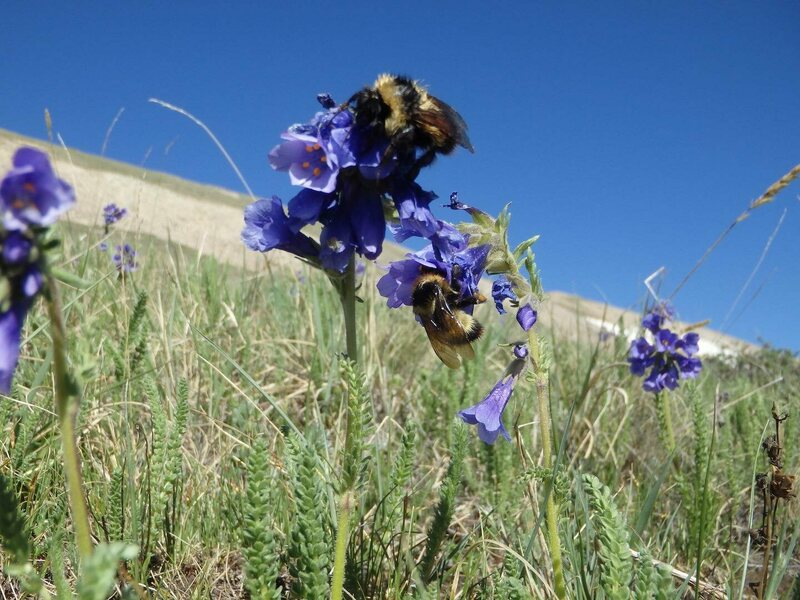 Bumblebees pollinating flowers during the study.