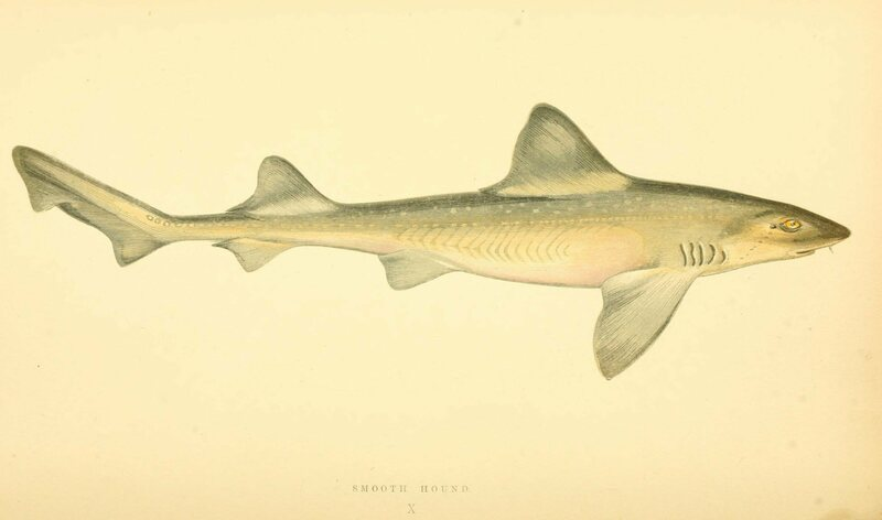 A smoothhound shark.