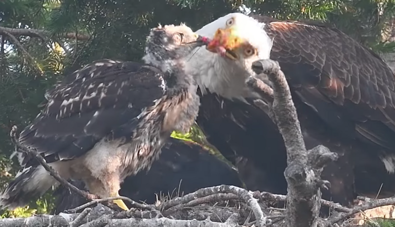 A young red-tailed hawk takes food from its accidental guardian, a mature bald eagle.