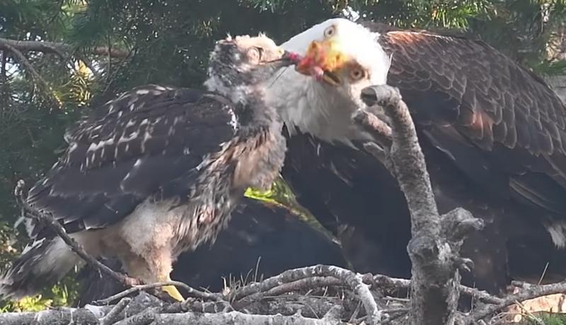 Bald Eagle Nesting Young