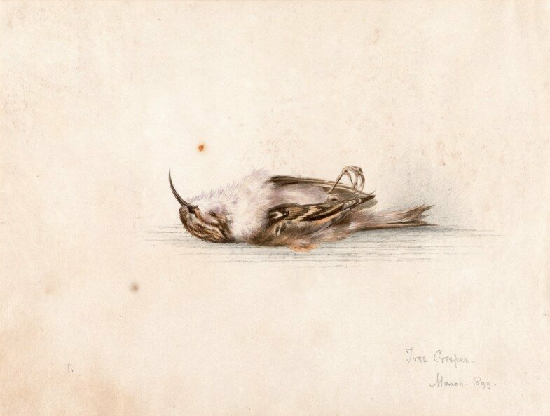 Wilson's painting of a tree creeper.