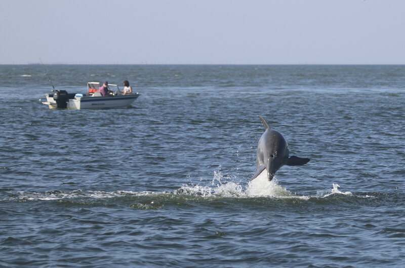 a dolphin leaps out of the chesapeake bay - Pics Of Dolphins