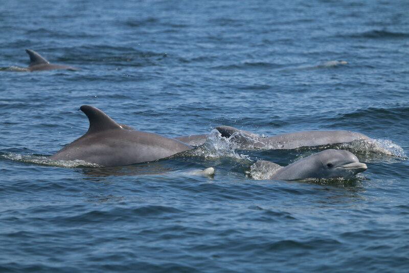 A group of dolphins in the Chesapeake.
