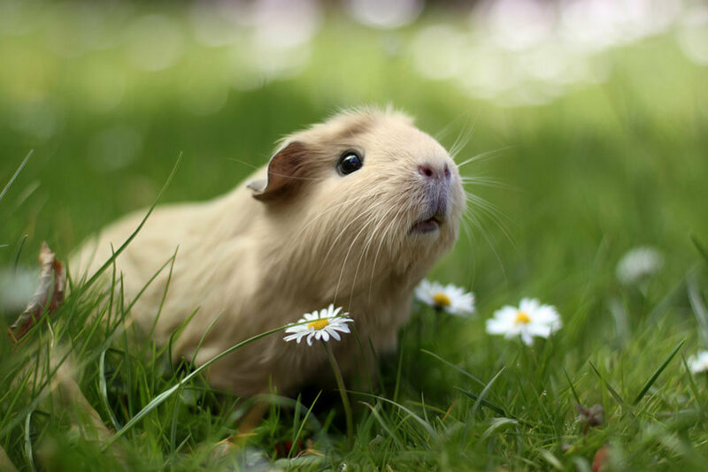 artificial intelligence gave some adoptable guinea pigs very good