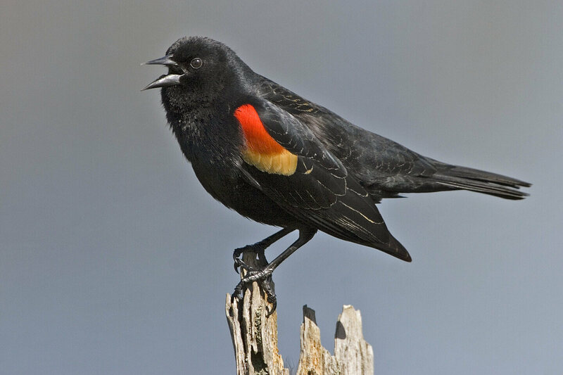 Red Winged Blackbirds Are Attacking People In Chicago Atlas Obscura