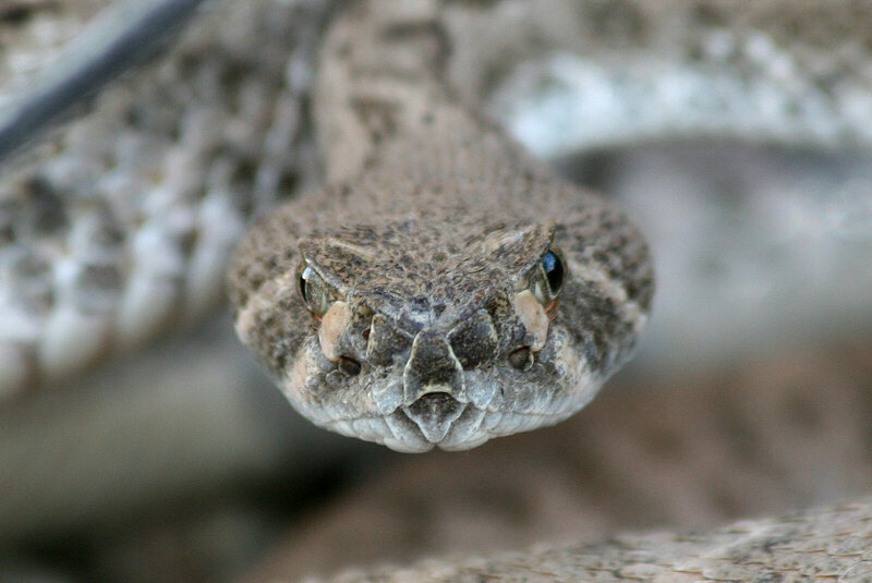 Rattlesnakes can be deadly in car crashes.