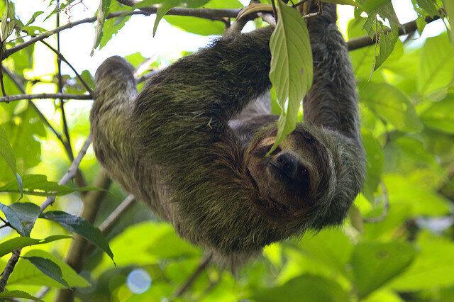 Sloths: Cute or Disgusting? - Atlas Obscura