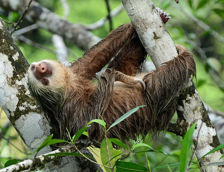 A sloth getting comfy in a tree.