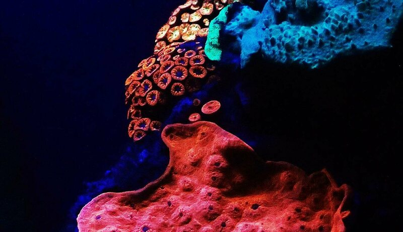 Glowing corals in the Red Sea.