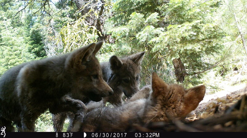 Three new wolf pups play right in front of a trail camera.