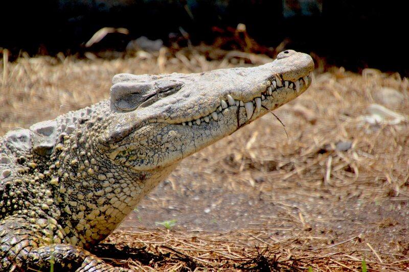 A Cuban crocodile.